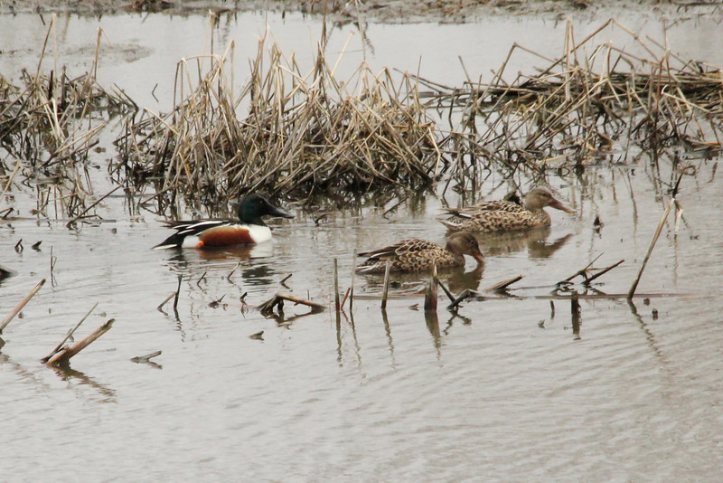 March 17, 2013 (Eagle Bluffs Conservation Area / Columbia, Boone County, Missouri) -- Northern Shovelers