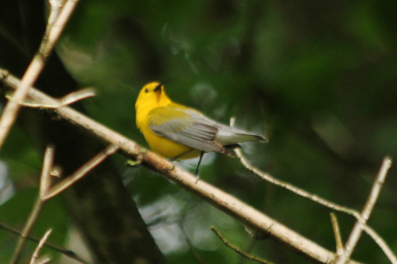 May 25, 2013 (Castlewood State Park [over path near railroad] / Ballwin, Saint Louis County, Missouri) -- Prothonotary Warbler