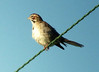 July 20, 2013 (Darst Bottom Road / Defiance, Saint Charles County, Missouri) -- Lark Sparrow