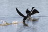 August 25, 2012 (Lake Carlyle [Eldon Hazlet State Park] / Carlyle, Clinton County, Illinois) -- Double-crested Cormorant