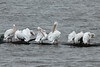 November 2, 2013 (Riverlands Migratory Bird Sanctuary [Ellis Bay] / West Alton, Saint Charles County, Missouri) -- American White Pelicans