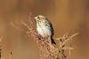 October 27, 2013 (Keeteman Sod Farm [Glacier Road] / Old Monroe, Lincoln County, Missouri) -- Savannah Sparrow
