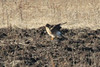 December 27, 2013 (Clarence Canon National Wildlife Refuge [on plowed field] / Annada, Pike County, Missouri) -- Northern Harrier