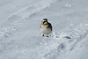 December 18, 2013 (Riverlands Migratory Bird Sanctuary [on Confluence Road] / West Alton, Saint Charles County, Missouri) -- Horned Lark