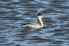 October 26, 2013 (Riverlands Migratory Bird Sanctuary [Teal Pond] / West Alton, Saint Charles County, Missouri) -- Horned Grebe