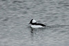 November 25, 2013 (Riverlands Migratory Bird Sanctuary [Ellis Bay] / West Alton, Saint Charles County, Missouri) -- Male Bufflehead