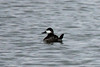 November 25, 2013 (Riverlands Migratory Bird Sanctuary [Ellis Bay] / West Alton, Saint Charles County, Missouri) -- Male Ruddy Duck