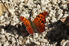 October 27, 2013 (Clarence Canon National Wildlife Refuge [near duck ponds] / Annada, Pike County, Missouri) -- Question Mark Butterfly