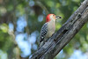 October 8, 2013 (Shaw Nature Reserve [Bascom House] / Gray Summit, Franklin County, Missouri) -- Red-bellied Woodpecker