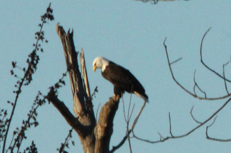 December 27, 2013 (Clarence Canon National Wildlife Refuge [over Mississippi River] / Annada, Pike County, Missouri) -- Bald Eagle