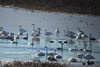 December 18, 2013 (Riverlands Migratory Bird Sanctuary [Heron Pond] / West Alton, Saint Charles County, Missouri) -- Trumpeter Swans
