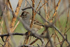 November 19, 2013 (Kaskaskia Island [across from Immaculate Conception Catholic Church] / Kaskaskia Island, Randolph County, Illinois) -- White-crowned Sparrow