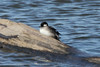 November 13, 2013 (Riverlands Migratory Bird Sanctuary [Ellis Bay] / West Alton, Saint Charles County, Missouri) -- Bufflehead