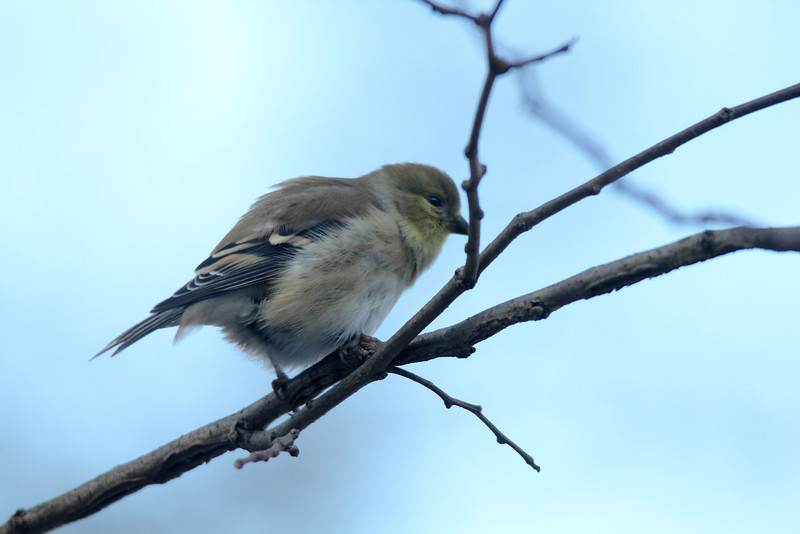 December 17, 2013 (backyard trees near feeders over Grand Glaize Creek / Manchester, Saint Louis County, Missouri) -- American Goldfinch
