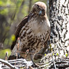 Red-tail Hawk with prey (Chipmunk), Tibbetts Brook Park