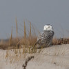 Snowy Owl at Jones Beach