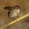 Swamp Sparrow, Tibbetts Brook Park