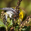 Black-throated Green Warbler, Brooklyn Botanic Garden