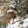 Grand Canyon National Park  - Mule Deer