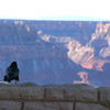 Grand Canyon National Park Christmas Bird Count - Raven contemplating the view