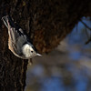 Grand Canyon National Park Christmas Bird Count - White-Breasted Nuthatch