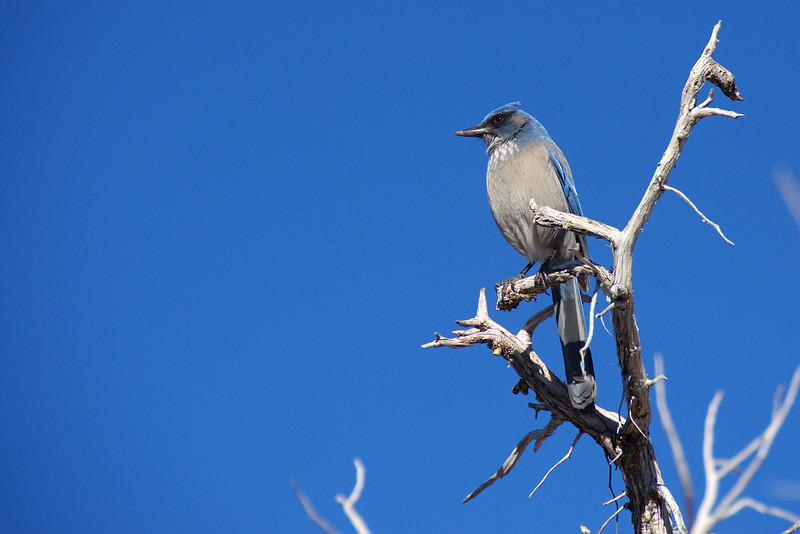 Grand Canyon National Park Christmas Bird Count - Western Scrub-Jay