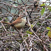 2/25 - Carolina wren camouflaged against a just-greening grape vine.