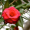 1/25 - Before they go, I have to give a shout-out to the beautiful camellias. They have been in bloom since December, providing the only color in the garden.