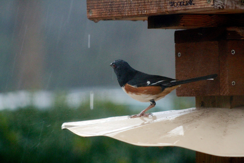 3/5 - It rained today. Only for a short while, but it rained hard. I got this shot of one of our young towhees taking shelter under the feeder. You can see the rain falling all around him. You can't see how he was slipping all over the metal disk he's standing on. It was comical.