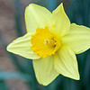 1/30 - Look what's in bloom in our garden! The first daffodils are here.