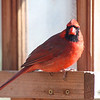 1/23 - Yet another cardinal.  This guy looks as though he is staring me down.