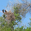 Bald Eagle NestWatch - 11-Week Old Nestlings in Nest
