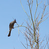 Bald Eagle NestWatch - Phainopepla