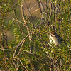 Bald Eagle NestWatch - Lark Sparrow