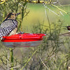 Sonoran Desert - Anna's Hummingbird and Gila Woodpecker