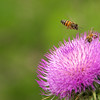 New Mexican Thistle and Bees