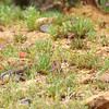 Sonoran Desert - Sagebrush Lizards (male and female)