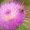 New Mexican Thistle and Bee