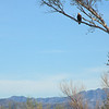 Sonoran Desert - Bald Eagle
