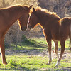 "Sonoran Desert - Free-Roaming ""Wild"" Horses (mare and foal)"