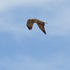Sonoran Desert - Red-Tailed Hawk