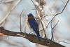 March 10, 2014 - (Simpson Lake County Park / Valley Park, Saint Louis County, Missouri) -- Male Eastern Bluebird