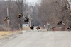 February 23, 2014 - (Baldwin Lake / Baldwin, Saint Clair County, Illinois) -- Wild Turkeys