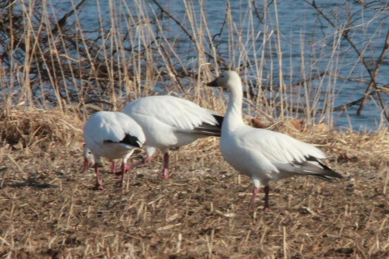 March 9, 2014 - (Baldwin Lake / Baldwin, Randolph County, Illinois) -- Snow Geese