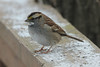 January 22, 2014 - (near backyard feeders over Grand Glaize Creek / Manchester, Saint Louis County, Missouri) -- White-throated Sparrow