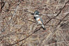 March 10, 2014 - (Simpson Lake County Park / Valley Park, Saint Louis County, Missouri) -- Female Belted Kingfisher