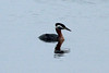 March 8, 2014 - (Creve Coeur County Park [Sailboat Cove] / Creve Coeur, Saint Louis County, Missouri) -- Red-necked Grebe