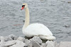 February 25, 2014 - (Horseshoe Lake State Park / Granite City, Madison County, Illinois) -- Mute Swan