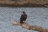 March 30, 2014 - BK Leach Conservation Area [Mississippi River] / Elsberry, Lincoln County, Missouri) -- Immature Bald Eagle