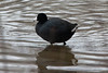 March 8, 2014 - (Creve Coeur County Park / Creve Coeur, Saint Louis County, Missouri) -- American Coot